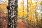 Birken und Buchen, die häufigsten Vertreter des Tessiner Waldes